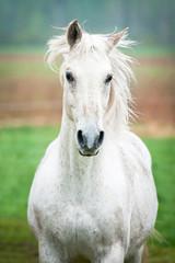 Fototapete - Portrait of beautiful white running horse