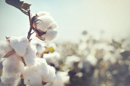 Cotton bud crop - landscape with copy space