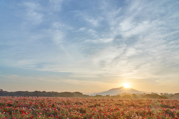 夜明けの筑波山と満開のポピー