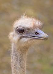Ostrich (Struthio camelus) close-up (captive)