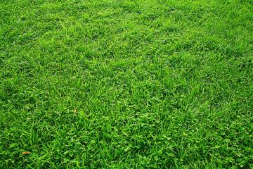 Green texture of grass lawn