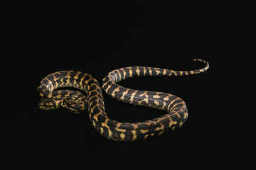 The male morelia spilota harrisoni python on black background