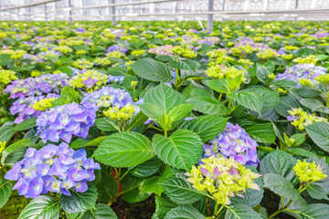 Blooming hydrangea plants in a greenhouse