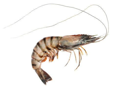 Raw black tiger shrimp isolated on white background