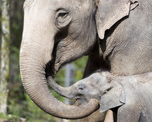 Mother and baby elephant showing affection
