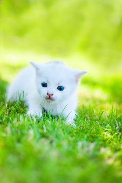 white kitten walking on the grass
