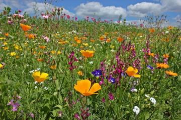 Blühende Saatblumenmischung am Feldrand