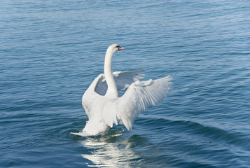 The  swan on the lake flaps wings