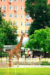 Moscow, RUSSIA - JUNE 21: Giraffe at the zoo in the open air on June 21, 2014, in Moscow, Russia