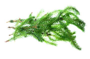 spruce isolated on white background.