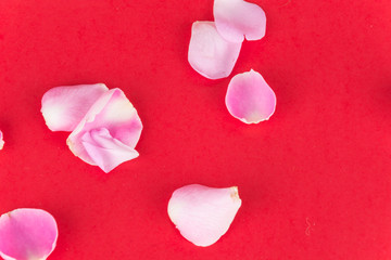 pink and white rose petal on red background