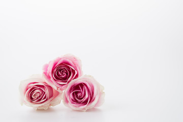white and pink rose on white background
