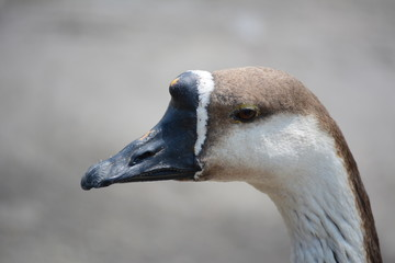 A goose head with black  beak