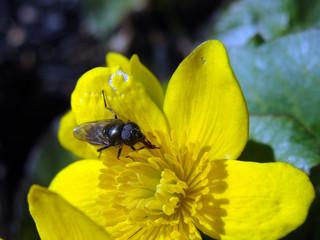Image of flower, fly, ranunculus