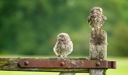 Wall Mural - which way now? Two little owls on an old farm gate