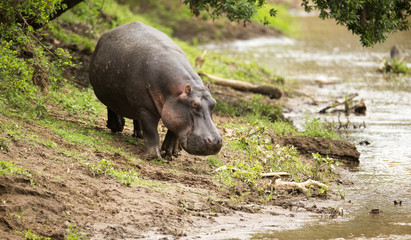 Large wild Hippo walking down to a river