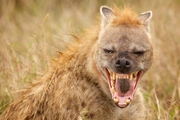 Self adhesive Wall Murals Hyena A laugh a day