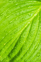 green leaf texture with rain drops