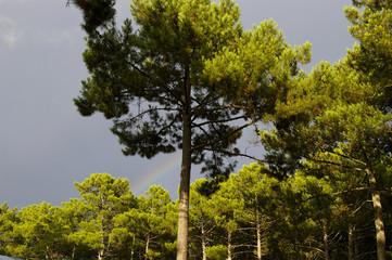 Forêt de pins et arc-en-ciel