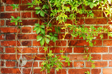 ivy on the old brick wall