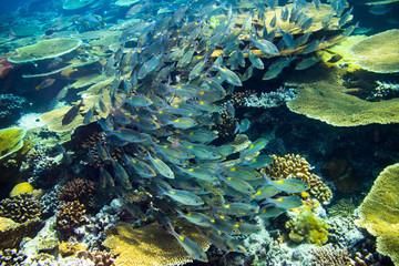 underwater photo of school of snapper fish indian ocean