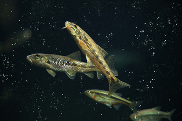 Gudgeon (Gobio gobio) and spirlin (Alburnoides bipunctatus).