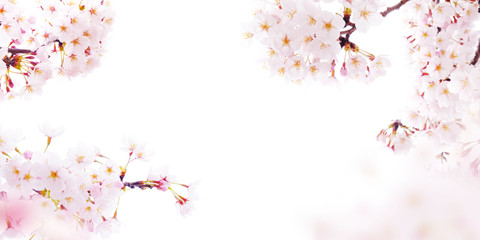 Photo sur Plexiglas Fleur de cerisier 桜