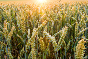 Fotoväggar - Getreideähren im Abendlicht