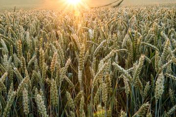 Fotoväggar - golden leuchtendes Getreidefeld