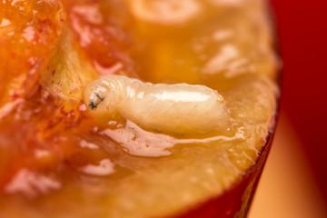 Studio macro shot of a worm eating a cherry