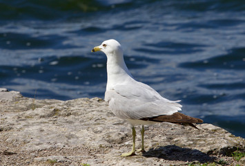 The serious gull is staying on the rock shore of the lake
