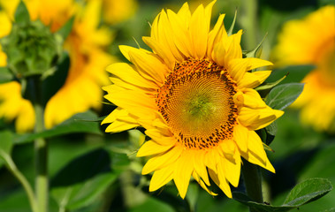 Close-up view of a sunflower on the field