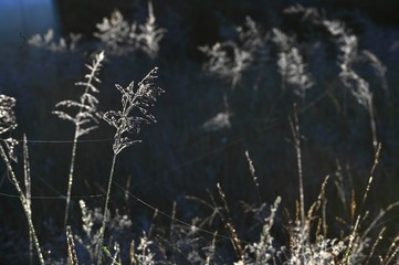 Meadow plants in backlight at sunset
