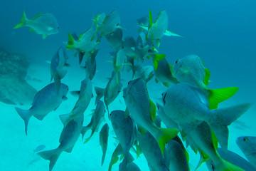 Shoal of Schoolmasters, Galapagos