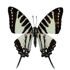 Wall Mural - Spot Swordtail butterfly