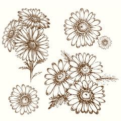 hand draw illustration chamomile