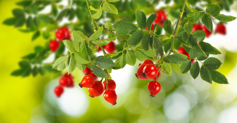 rose hips on a green background