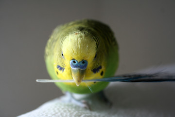Green and yellow male parakeet stock photo