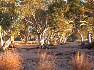 Gum trees in the dry Roe creek river bed in the late afternoon near Simpsons Gap in the McDonnell Ranges, Alice Springs, Australia, June 2015