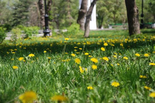 цветочная поляна одуванчиков в городском парке