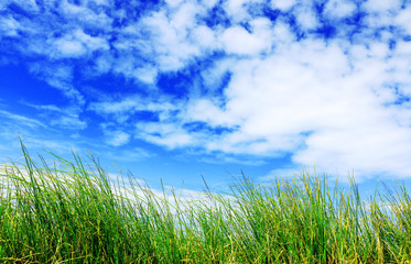 High grass and blue sky with white clouds