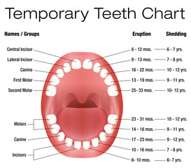 Temporary teeth - names, groups, period of eruption and shedding of the children´s teeth - three-dimensional vector illustration on white background.