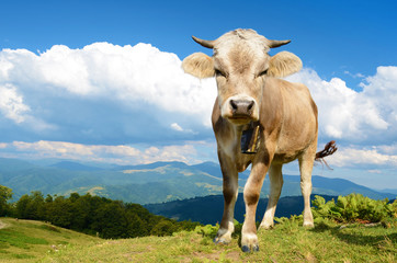 Beautiful young calf in the mountains on the background of cloud