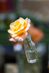 Yellow rose in a bottle