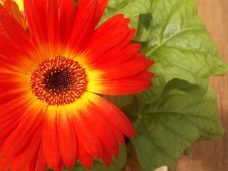 Bright orange daisy closeup
