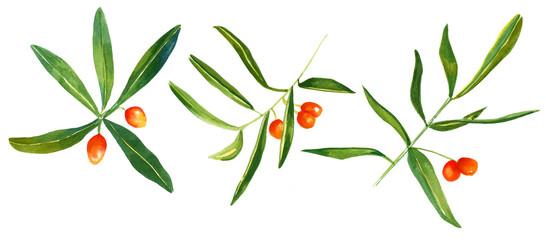 Watercolour sandthorn berries and leaves, three drawings