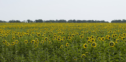 field of the sunflowers looking towards the sun