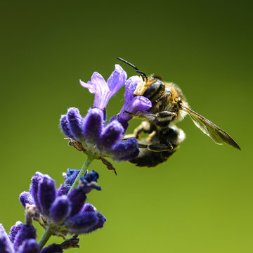 Leafcutter Bee (Anthidium oblongatum) on Lavender Flower