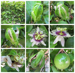 Passion fruit growth stages