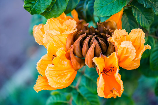 Decorative african tulip tree flower flame of the forest Tobago Caribbean